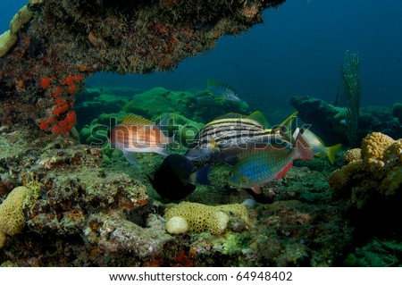 Six Species of fish sheltering in a coral arch.  Doctor fish, Squirrel fish, Spanish Grunt, Porkfish, and Schoolmaster. Picture taken on a reef in south east Florida. - stock photo