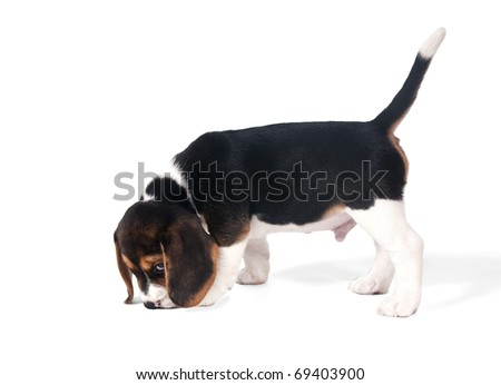 Six-week puppy beagle on the trail on a white background - stock photo