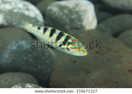 Sixbar Wrasse (Thalassoma hardwicke) on a tropical coral reef in Bali, Indonesia. - stock photo