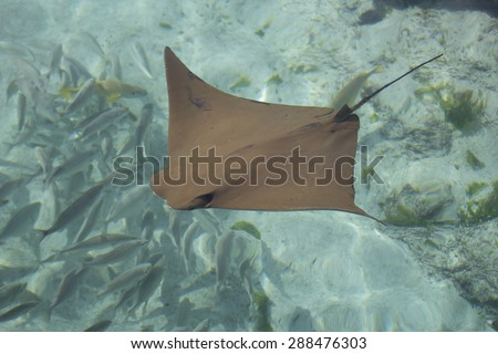 Skate in Shallow water - stock photo