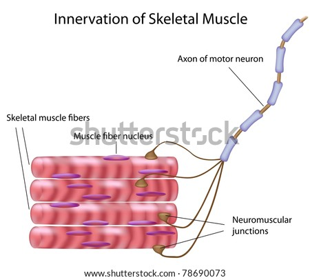 Skeletal muscle and motor neuron in a motor unit - stock photo