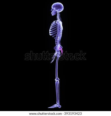 skeleton Bone Joint Pains (Hip and Pelvis) - stock photo