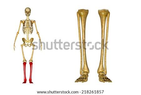 Skeleton legs - stock photo