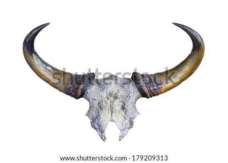 skeleton of Banteng head - stock photo