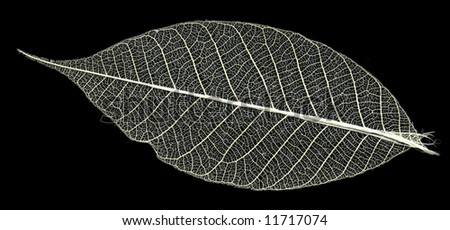 skeleton of the leaf - stock photo