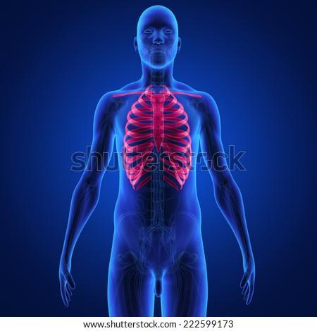Skeleton Ribs - stock photo