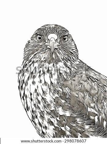 Sketch galapagos hawk - stock photo