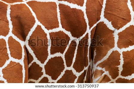 Skin of a giraffe close-up. Kenya. Africa. An excellent illustration for the safari theme. - stock photo