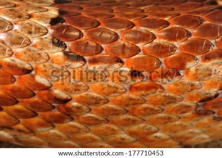 Skin of the corn snake Pantherophis guttatus - stock photo