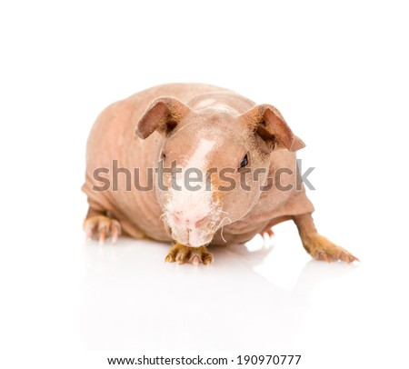 skinny guinea pig in front. isolated on white background - stock photo