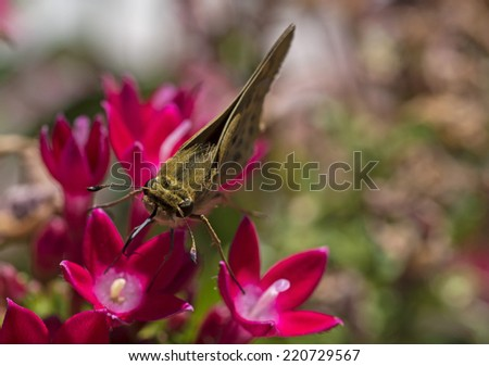 Skipper Butterfly - stock photo
