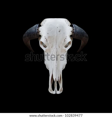 skull buffalo with cliping path - stock photo