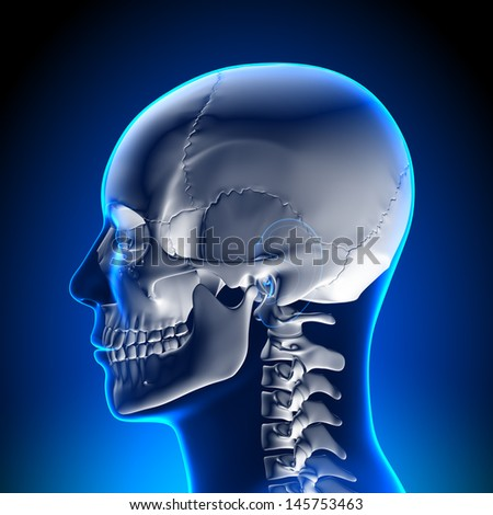 Skull / Cranium - stock photo