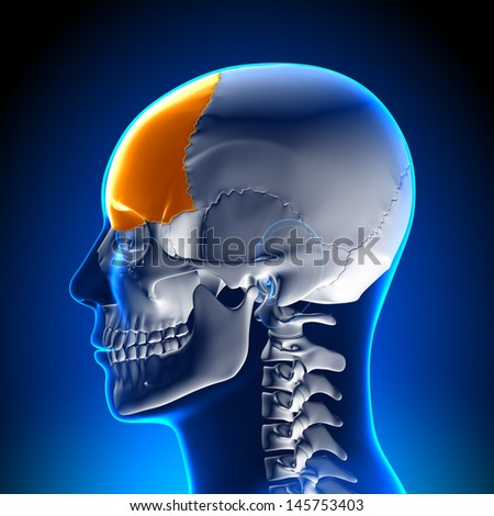 Skull / Cranium - Frontal lobe - stock photo