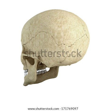 Skull isolated on white background from side - stock photo