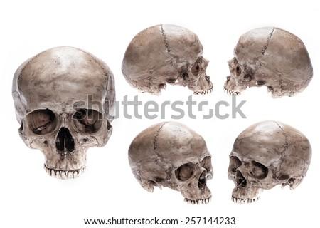 Skull model set on isolated white background - stock photo