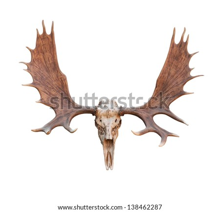 Skull Moose front view isolated on white  background - stock photo