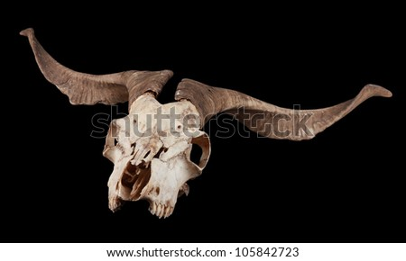 Skull of a deer black isolated - stock photo