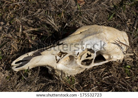 skull of a deer on the grass - stock photo