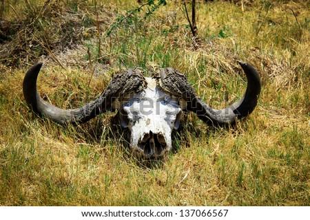 Skull of Cape buffalo in the savannah - stock photo