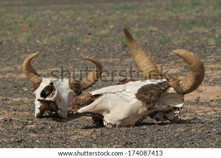 Skull of Cow and Horse - stock photo