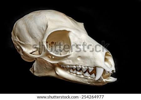 skull of Lemur catta - stock photo