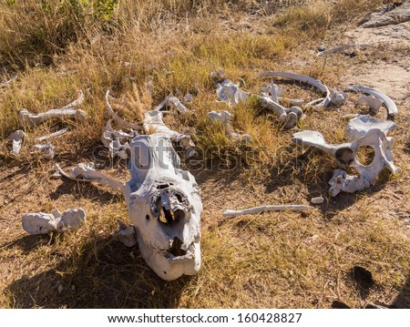 Skull of single large large rhino or rhinoceros that was likely killed for its horn in poaching attack in Matobo National Park in Zimbabwe in Southern Africa - stock photo
