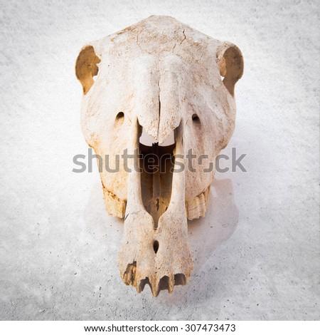 skull over grey background - stock photo