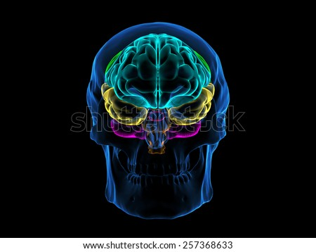 Skull X-Ray Brain Front - stock photo