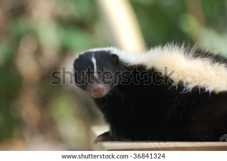 Skunk - stock photo