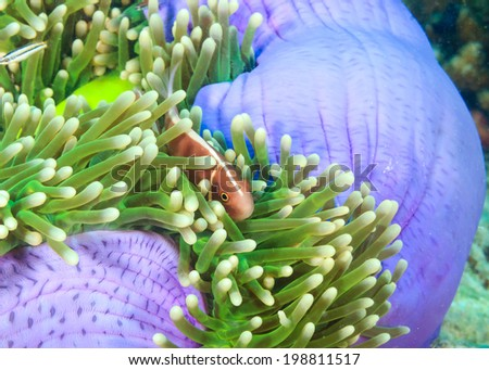 Skunk Clownfish hiding in a brightly colored purple anemone - stock photo