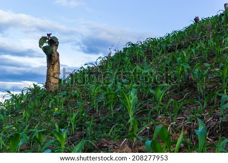 Slash and burn cultivation in north Thailand, clearing in the ra - stock photo