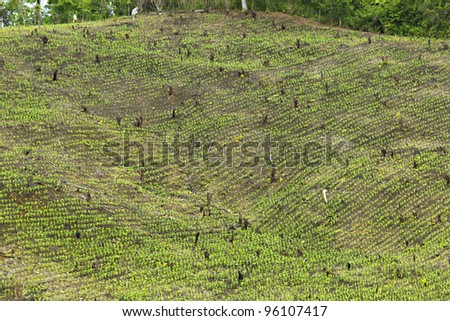 Slash and burn cultivation in Western Ecuador, steep slope cleared and planted with maize seedlings. - stock photo
