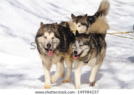 sled dog competition - stock photo