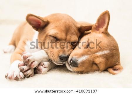 Sleeping basenji puppies sleeping on a soft blanket cuddling  - stock photo