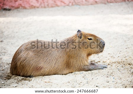Sleeping capybara. ( rodent ) - stock photo