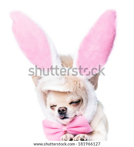 sleeping chihuahua dog in a costume of a hare isolated - stock photo