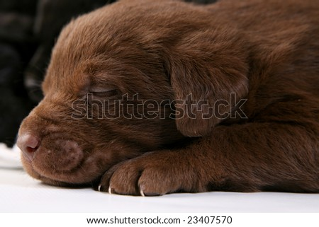 Sleeping chocolate lab puppy - stock photo