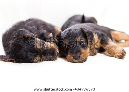 sleeping cute airedale terrier puppies - stock photo