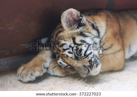 Sleeping cute baby tiger. Small tiger cub. Funny baby tiger sleep on the floor   - stock photo