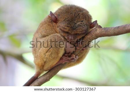 Sleeping cute tarsier, Bohol Island, Phlippines - stock photo