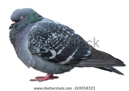 Sleeping dove. Grey dove isolated on a white background. Feral Pigeon - stock photo