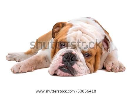 sleeping English bulldog isolated on a white background - stock photo