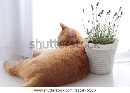 Sleeping ginger cat with lavender flowers - stock photo