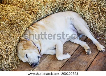 Sleeping Golden Retriever Puppy in farmhouse  - stock photo