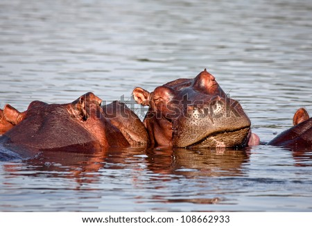 sleeping hippo in liwonde national park malawi - stock photo