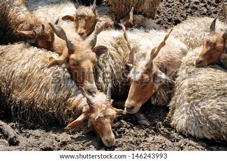Sleeping hungarian racka sheeps. These special sheep are typical of and kept traditionally on the Hungarian plains. - stock photo