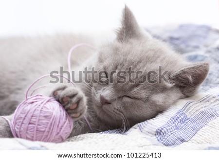 sleeping kitten british rare color - stock photo