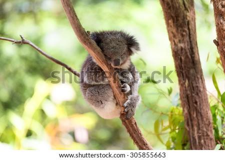 Sleeping koala on eucalyptus tree, sunlight. Koala Bear in zoo. Koala relaxing in a tree, Australia.  - stock photo