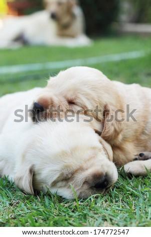 sleeping labrador puppies on green grass - three weeks old. - stock photo